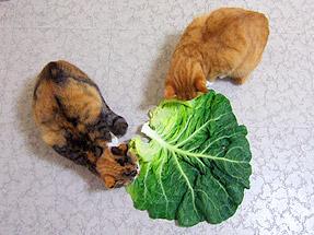 cabbage01.jpg