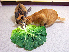 cabbage02.jpg