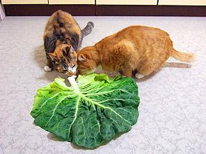 cabbage02.jpg